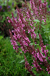 Sensation Deep Rose Meadow Sage (Salvia nemorosa 'Sensation Deep Rose') at Maidstone Tree Farm