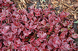 Cherry Tart Stonecrop (Sedum 'Cherry Tart') at Maidstone Tree Farm