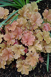 Christa Coral Bells (Heuchera 'Christa') at Maidstone Tree Farm