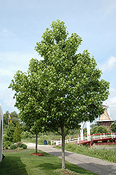 Moraine Sweet Gum (Liquidambar styraciflua 'Moraine') at Maidstone Tree Farm