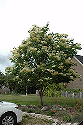 Japanese Tree Lilac (Syringa reticulata) at Maidstone Tree Farm