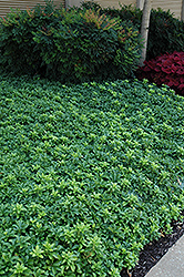 Green Sheen Japanese Spurge (Pachysandra terminalis 'Green Sheen') at Maidstone Tree Farm