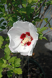 Red Heart Rose Of Sharon (Hibiscus syriacus 'Red Heart') at Maidstone Tree Farm