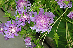 Stoke's Aster (Stokesia laevis) at Maidstone Tree Farm