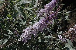 Glass Slippers Butterfly Bush (Buddleia 'Glass Slippers') at Maidstone Tree Farm