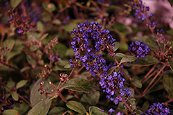 Lo And Behold® Blue Chip Junior Dwarf Butterfly Bush (Buddleia 'Lo And Behold Blue Chip Junior') at Maidstone Tree Farm