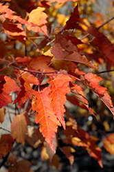 Ruby Slippers Amur Maple (Acer ginnala 'Ruby Slippers') at Maidstone Tree Farm