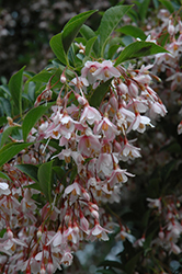 Pink Chimes Japanese Snowbell (Styrax japonicus 'Pink Chimes') at Maidstone Tree Farm