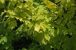 Princeton Gold Maple (Acer platanoides 'Princeton Gold') at Maidstone Tree Farm