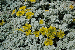 Cape Blanco Stonecrop (Sedum spathulifolium 'Cape Blanco') at Maidstone Tree Farm