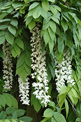 Texas White Wisteria (Wisteria sinensis 'Texas White') at Maidstone Tree Farm