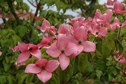 Red Flowering Dogwood (Cornus florida 'var. rubra') at Maidstone Tree Farm