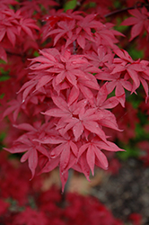 Twombly's Red Sentinel Japanese Maple (Acer palmatum 'Twombly's Red Sentinel') at Maidstone Tree Farm