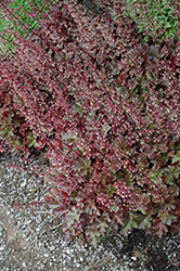 Chocolate Ruffles Coral Bells (Heuchera 'Chocolate Ruffles') at Maidstone Tree Farm