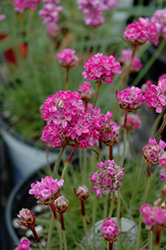 Splendens Sea Thrift (Armeria maritima 'Splendens') at Maidstone Tree Farm