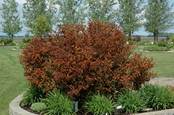 Coppertina® Ninebark (Physocarpus opulifolius 'Mindia') at Maidstone Tree Farm