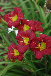 Pardon Me Daylily (Hemerocallis 'Pardon Me') at Maidstone Tree Farm
