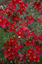 Red Satin Tickseed (Coreopsis 'Red Satin') at Maidstone Tree Farm
