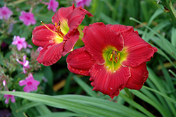 Happy Ever Appster® Red Hot Returns Daylily (Hemerocallis 'Red Hot Returns') at Maidstone Tree Farm