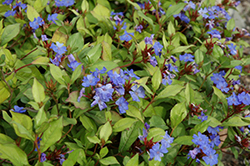 Plumbago (Ceratostigma plumbaginoides) at Maidstone Tree Farm
