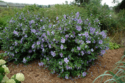 Blue Chiffon® Rose of Sharon (Hibiscus syriacus 'Notwoodthree') at Maidstone Tree Farm