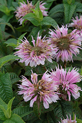 Cotton Candy Beebalm (Monarda 'Cotton Candy') at Maidstone Tree Farm