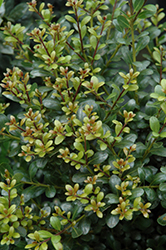 Compact Inkberry Holly (Ilex glabra 'Compacta') at Maidstone Tree Farm