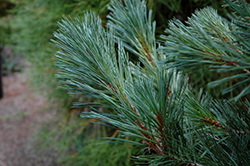 Cesarini Blue Limber Pine (Pinus flexilis 'Cesarini Blue') at Maidstone Tree Farm