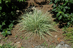 EverColor® Everest Japanese Sedge (Carex oshimensis 'Carfit01') at Maidstone Tree Farm