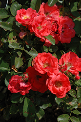 Coral Drift® Rose (Rosa 'Meidrifora') at Maidstone Tree Farm