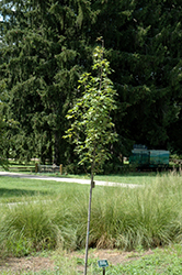 Armstrong Gold Red Maple (Acer rubrum 'JFS-KW78') at Maidstone Tree Farm