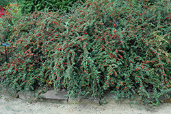 Cranberry Cotoneaster (Cotoneaster apiculatus) at Maidstone Tree Farm