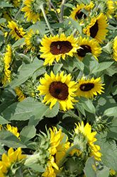Sunsation Flame Sunflower (Helianthus annuus 'Sunsation Flame') at Maidstone Tree Farm