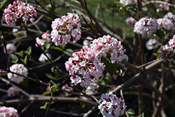 Koreanspice Viburnum (Viburnum carlesii) at Maidstone Tree Farm