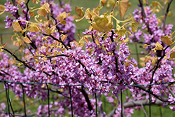 The Rising Sun Redbud (Cercis canadensis 'The Rising Sun') at Maidstone Tree Farm