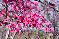 Appalachian Red Redbud (Cercis canadensis 'Appalachian Red') at Maidstone Tree Farm