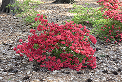 Girard's Crimson Azalea (Rhododendron 'Girard's Crimson') at Maidstone Tree Farm