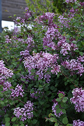 Bloomerang® Lilac (Syringa 'Bloomerang') at Maidstone Tree Farm