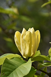 Yellow Bird Magnolia (Magnolia 'Yellow Bird') at Maidstone Tree Farm