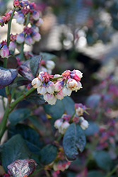 Pink Icing® Blueberry (Vaccinium 'ZF06-079') at Maidstone Tree Farm