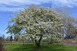 Snowdrift Flowering Crab (Malus 'Snowdrift') at Maidstone Tree Farm