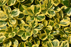 Gold Splash® Wintercreeper (Euonymus fortunei 'Roemertwo') at Maidstone Tree Farm