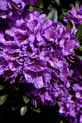 Purple Gem Rhododendron (Rhododendron 'Purple Gem') at Maidstone Tree Farm