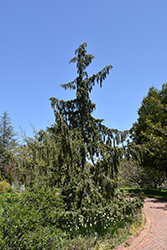 Weeping Nootka Cypress (Chamaecyparis nootkatensis 'Pendula') at Maidstone Tree Farm