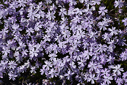 Emerald Blue Moss Phlox (Phlox subulata 'Emerald Blue') at Maidstone Tree Farm