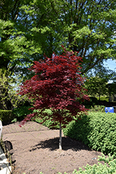 Fireglow Japanese Maple (Acer palmatum 'Fireglow') at Maidstone Tree Farm