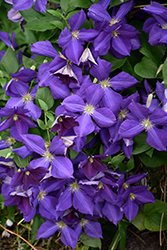Jackmanii Clematis (Clematis x jackmanii) at Maidstone Tree Farm