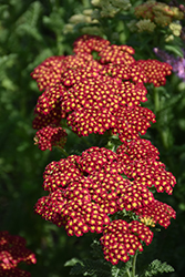 Strawberry Seduction Yarrow (Achillea millefolium 'Strawberry Seduction') at Maidstone Tree Farm