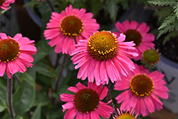 Sensation Pink Coneflower (Echinacea 'Sensation Pink') at Maidstone Tree Farm