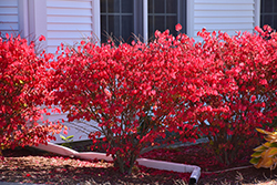 Chicago Fire Burning Bush (Euonymus alatus 'Chicago Fire') at Maidstone Tree Farm